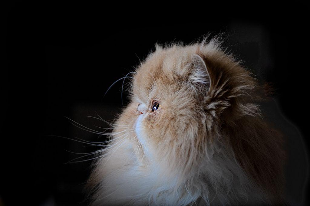 Ảnh góc nghiêng của mèo Ba Tư
