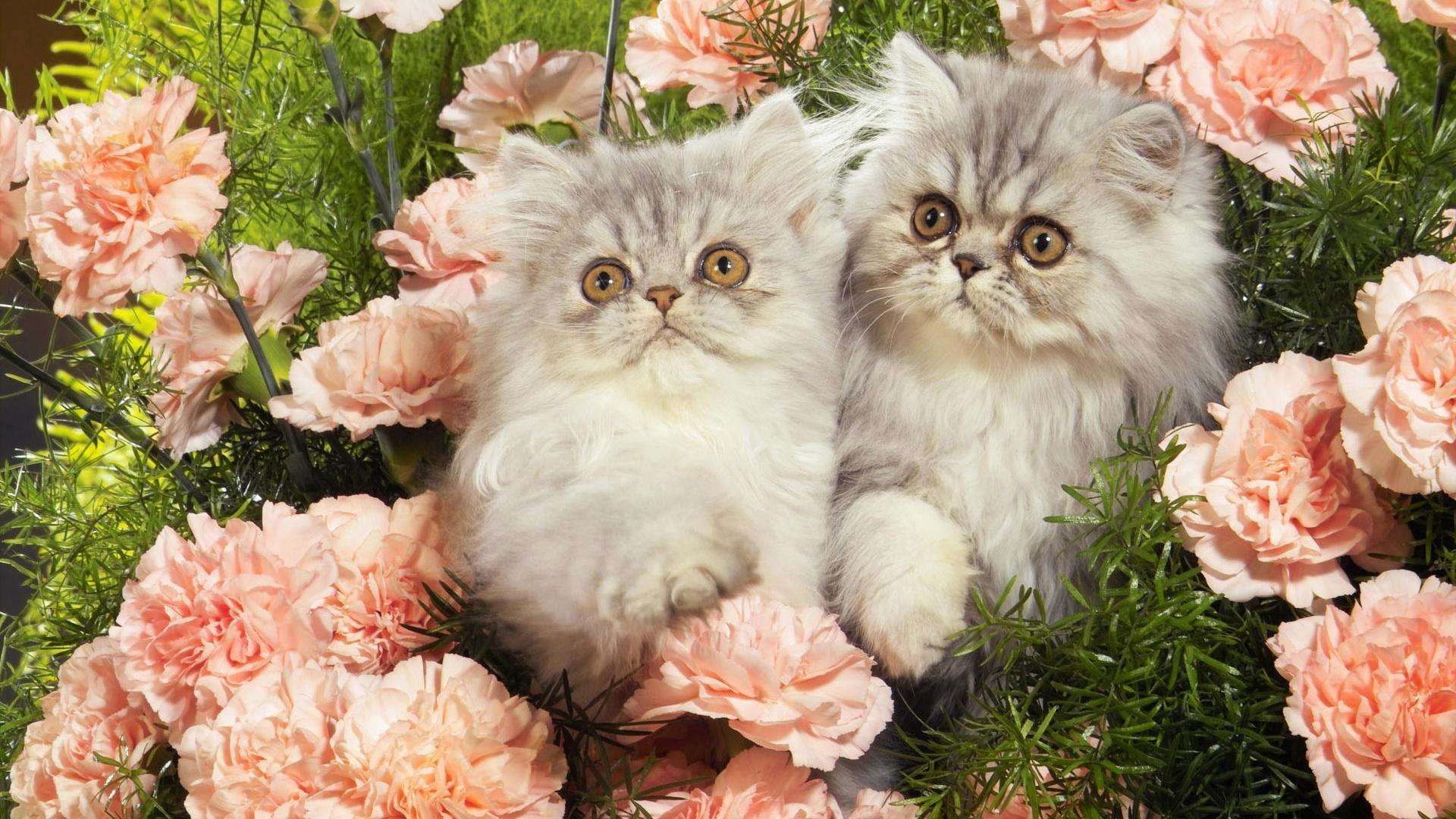 Ảnh hai bé mèo Ba Tư với biểu cảm dễ thương