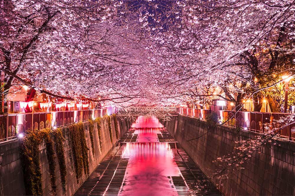 Ảnh hoa anh đào Nhật Bản về đêm