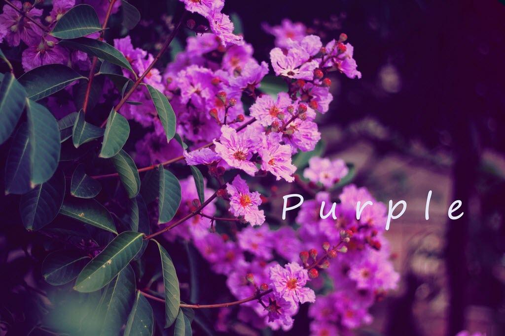 Ảnh hoa bằng lăng tím