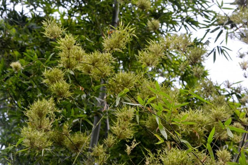Ảnh hoa của cây tre trăm năm nở một lần