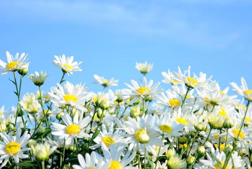 Ảnh hoa cúc họa mi nở đẹp