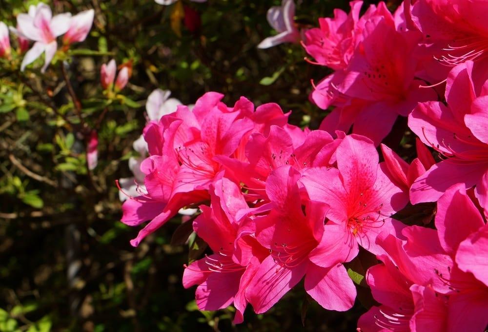 Ảnh hoa đỗ quyên đẹp, ý nghĩa
