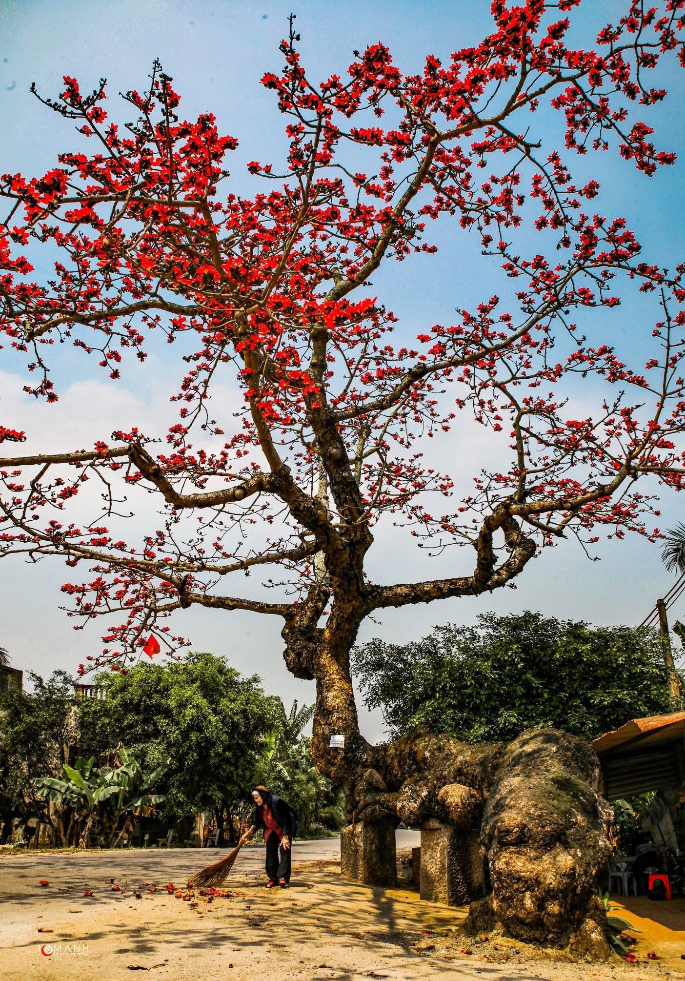 Ảnh hoa gạo đỏ rực trời tháng ba