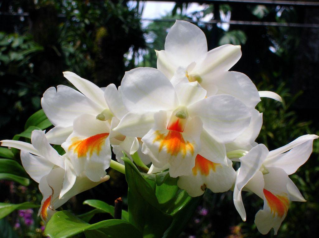 Ảnh hoa lan trắng đẹp