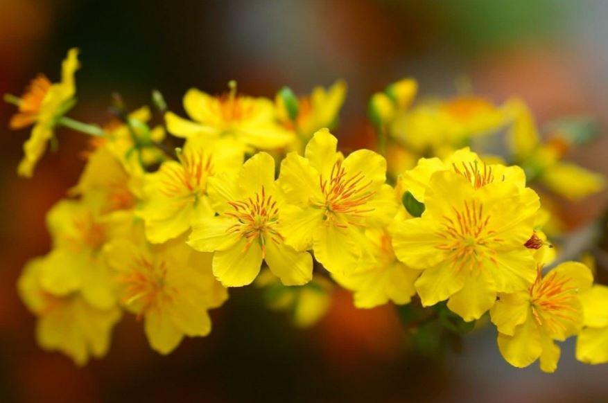Ảnh hoa mai vàng miền Nam