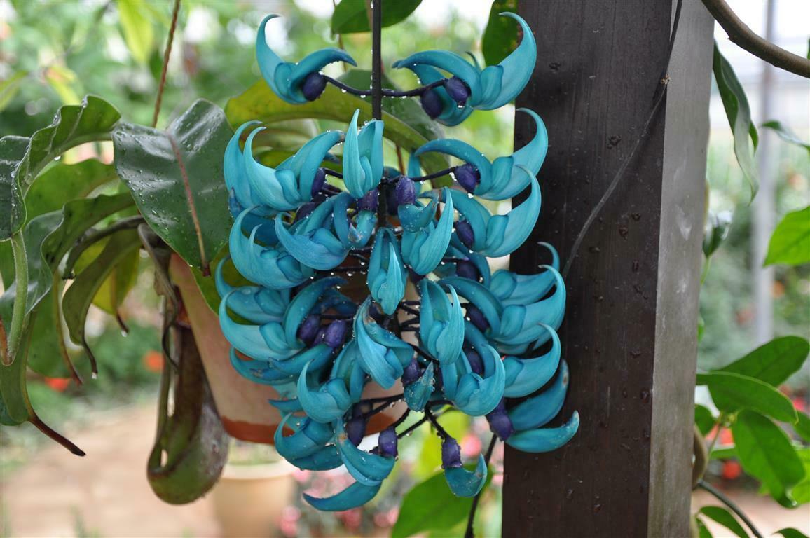 Ảnh hoa móng cọp xanh cực hiếm