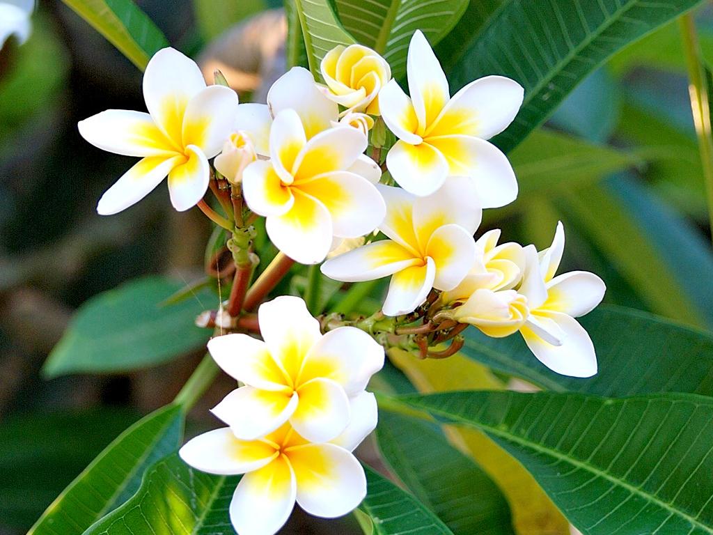 Ảnh hoa sứ trắng