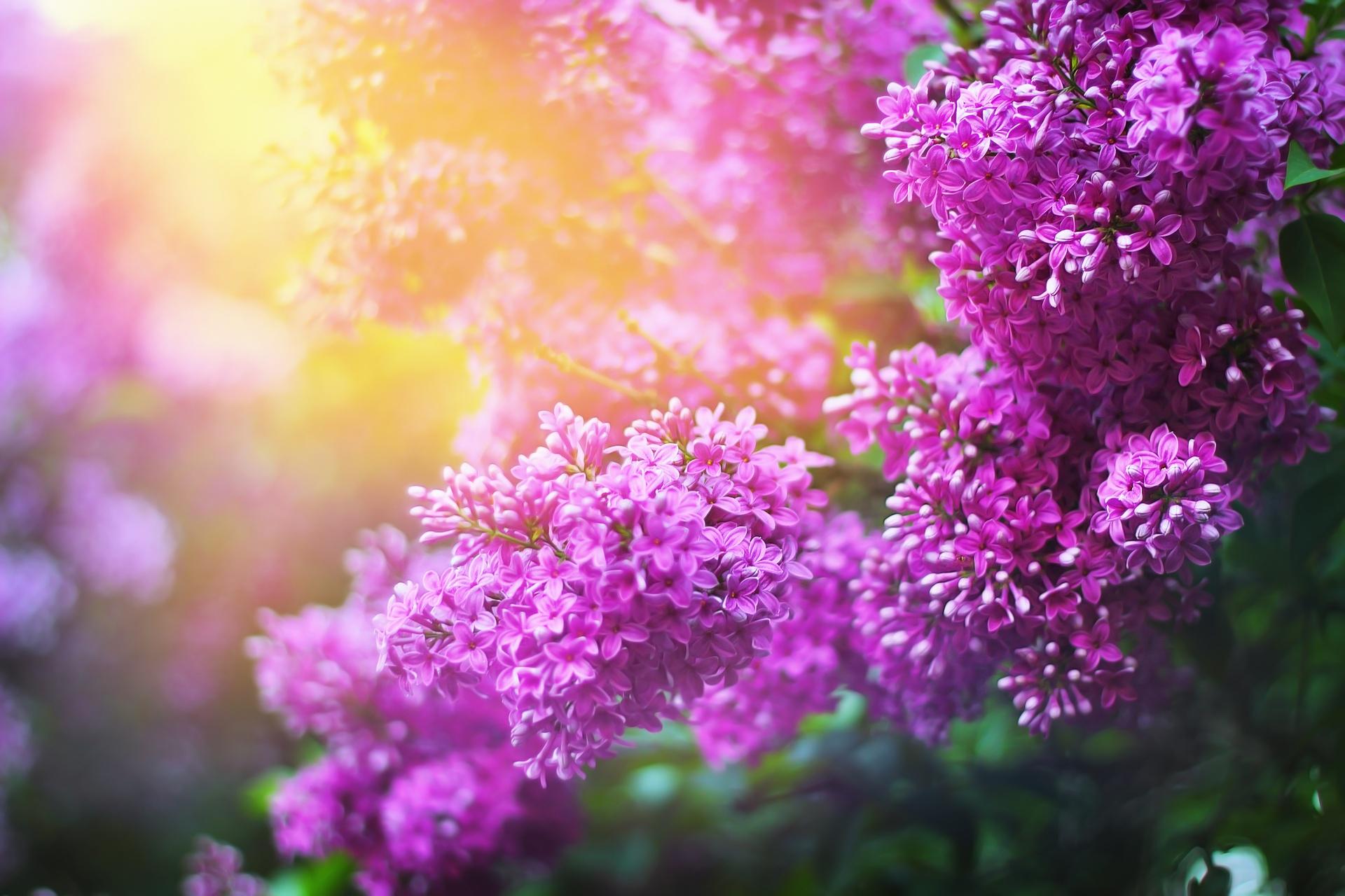 Ảnh hoa tử đinh hương - loài hoa tượng trưng cho tình yêu