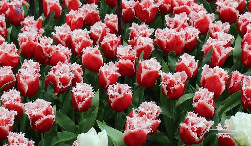 Ảnh hoa Tulip