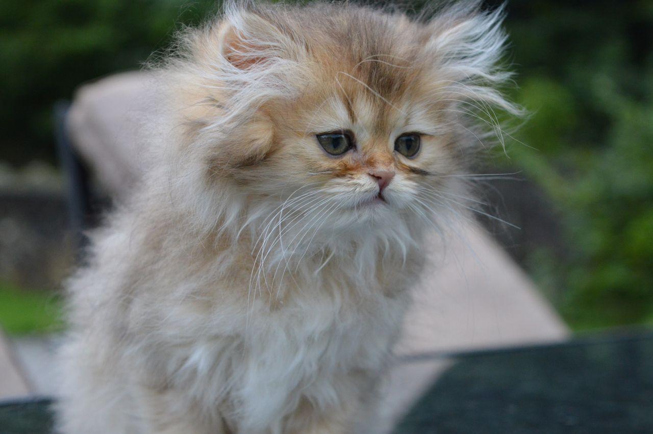Ảnh mèo Ald có bộ lông xù