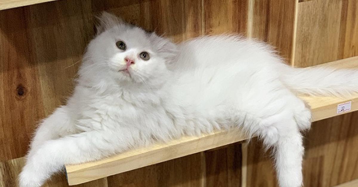 Ảnh mèo ald màu trắng cực đẹp