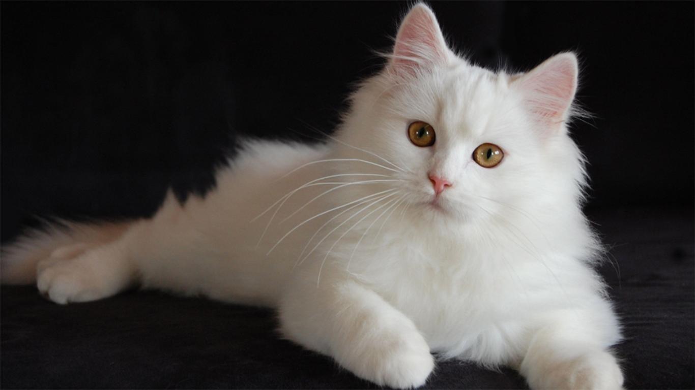 Ảnh mèo ald trắng đẹp