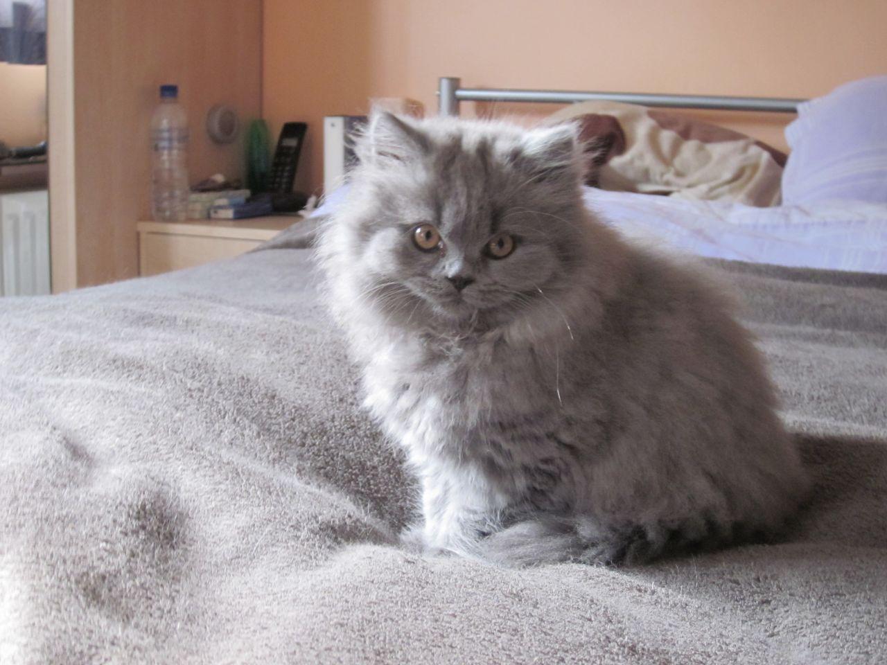 Ảnh mèo anh lông dài (ald) xám tro cực đẹp