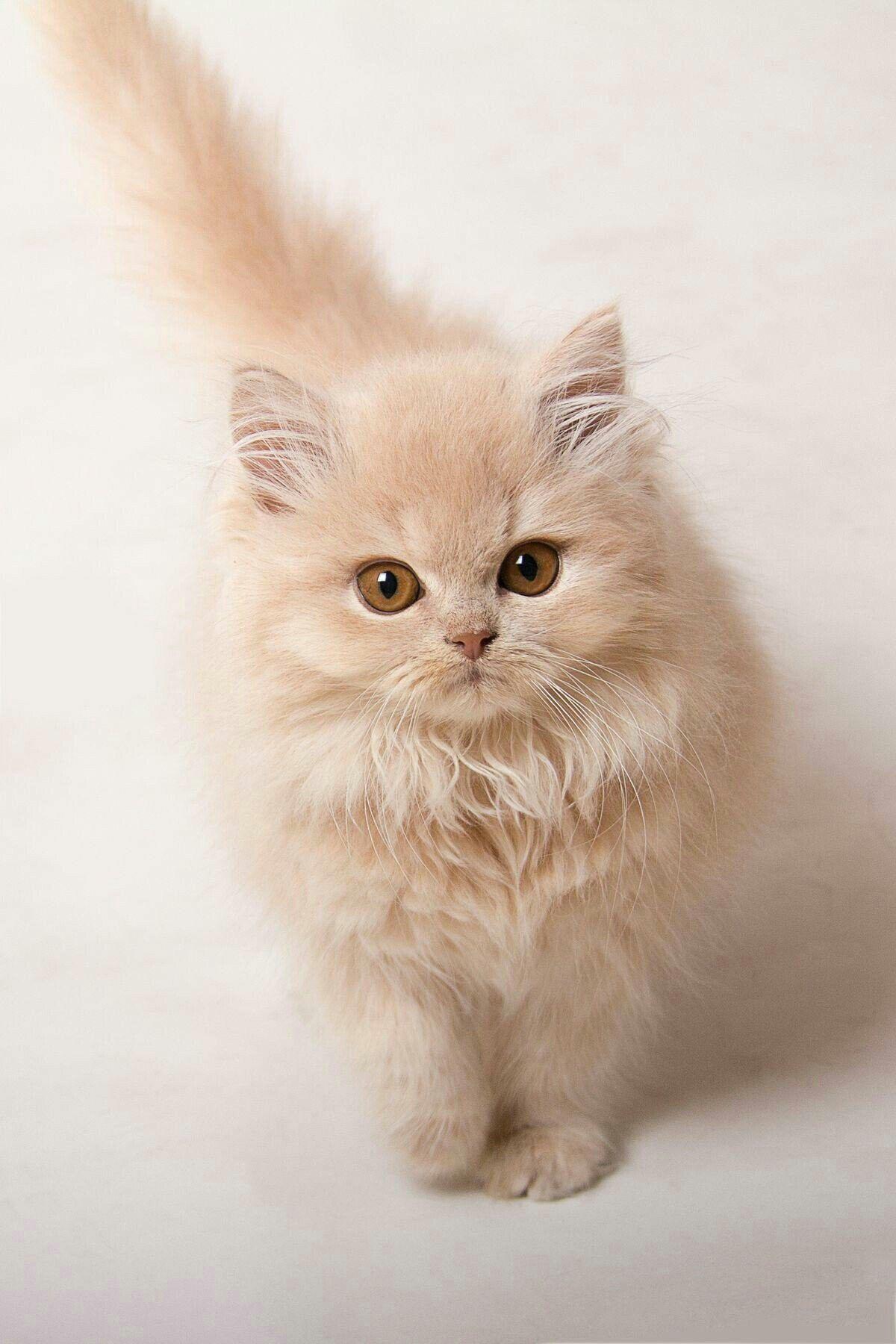 Ảnh mèo anh lông dài chân ngắn