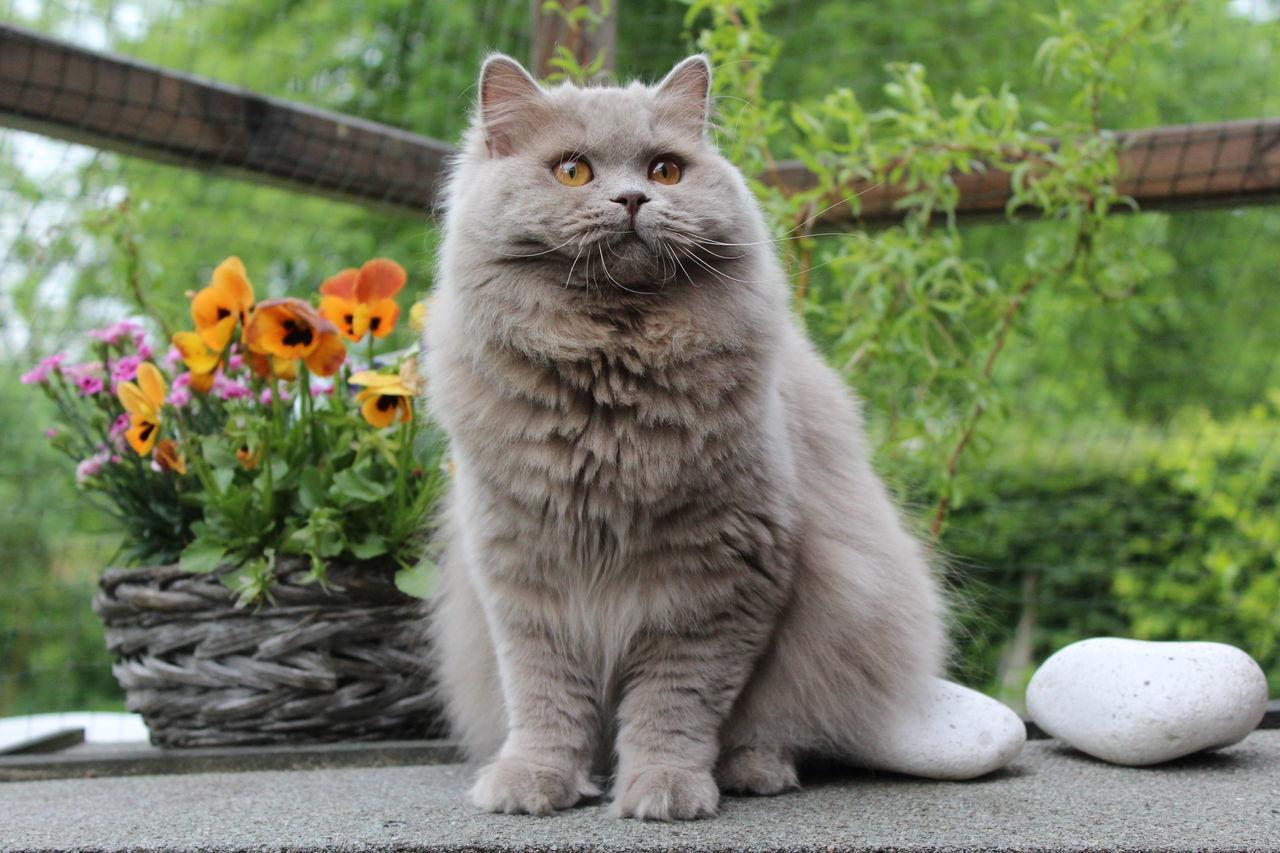 Ảnh mèo anh lông dài có bộ lông cực đẹp