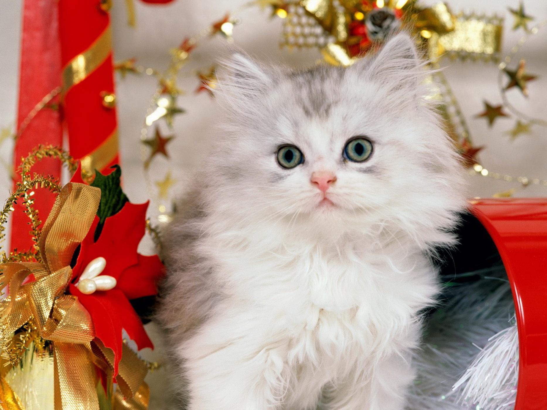 Ảnh mèo anh lông dài dễ thương, đẹp nhất