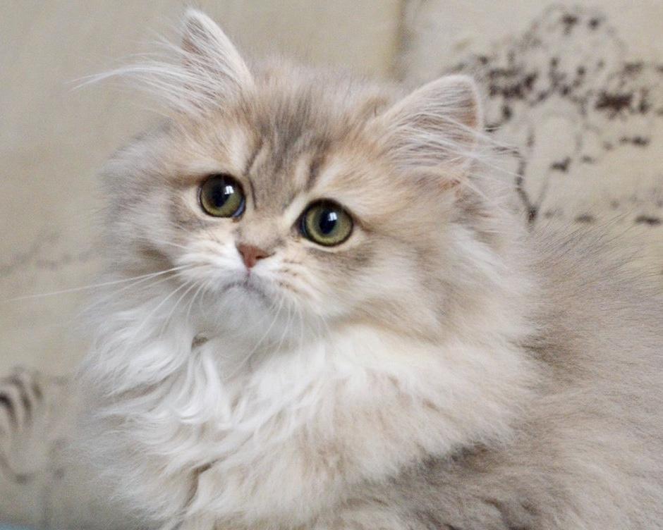 Ảnh mèo anh lông dài dễ thương nhất