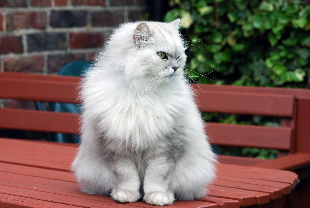 Ảnh mèo anh lông dài đẹp dễ thương nhất