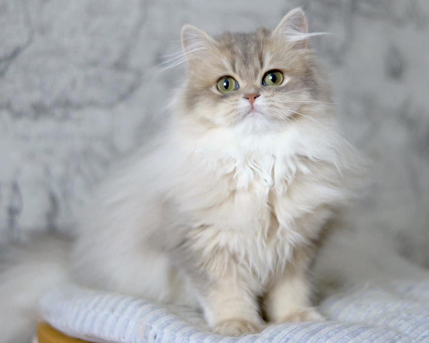Ảnh mèo anh lông dài đẹp kiêu sa