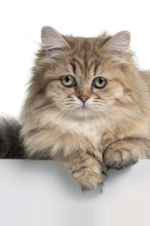 Ảnh mèo anh lông dài đẹp nhất