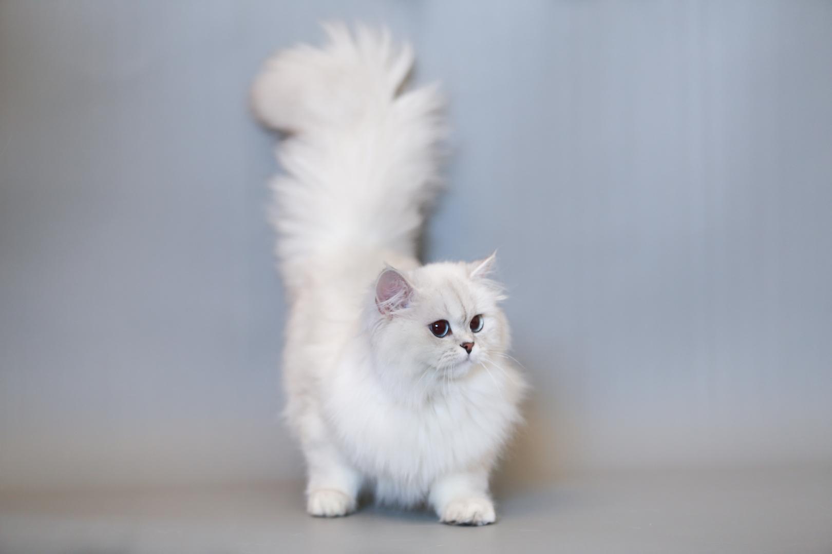 Ảnh mèo anh lông dài đuôi dài