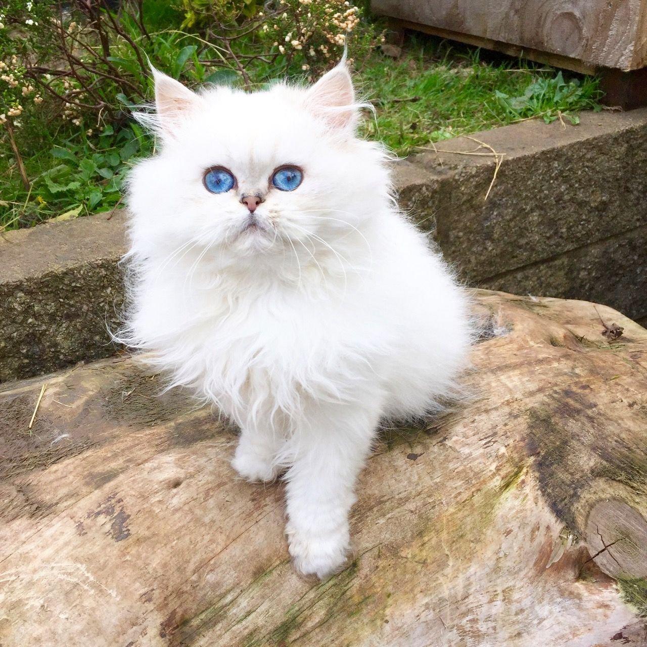 Ảnh mèo anh lông dài mắt xanh cực đẹp