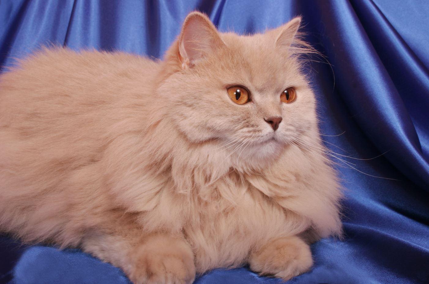 Ảnh mèo anh lông dài màu vàng