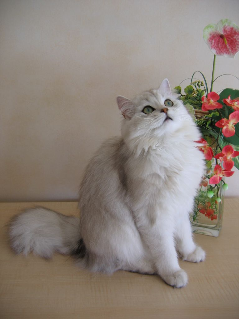Ảnh mèo anh lông dài trắng đẹp