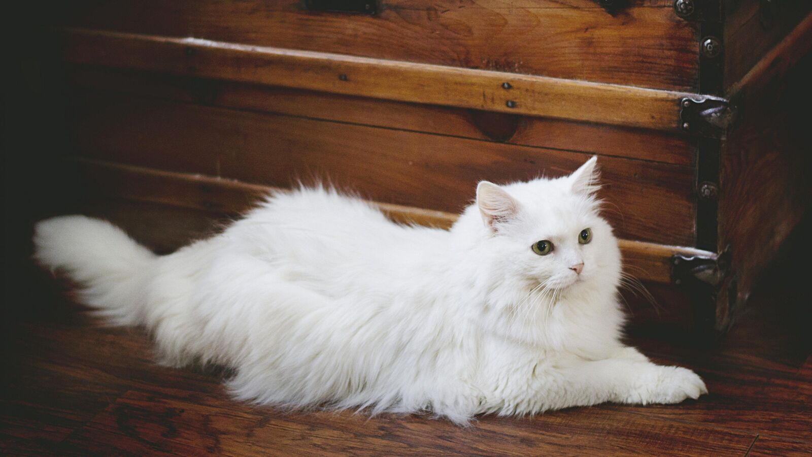Ảnh mèo anh lông dài trắng ngầu