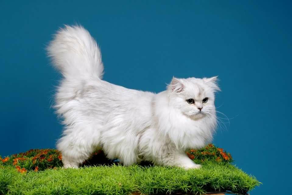 Ảnh mèo anh lông dài trắng sang chảnh