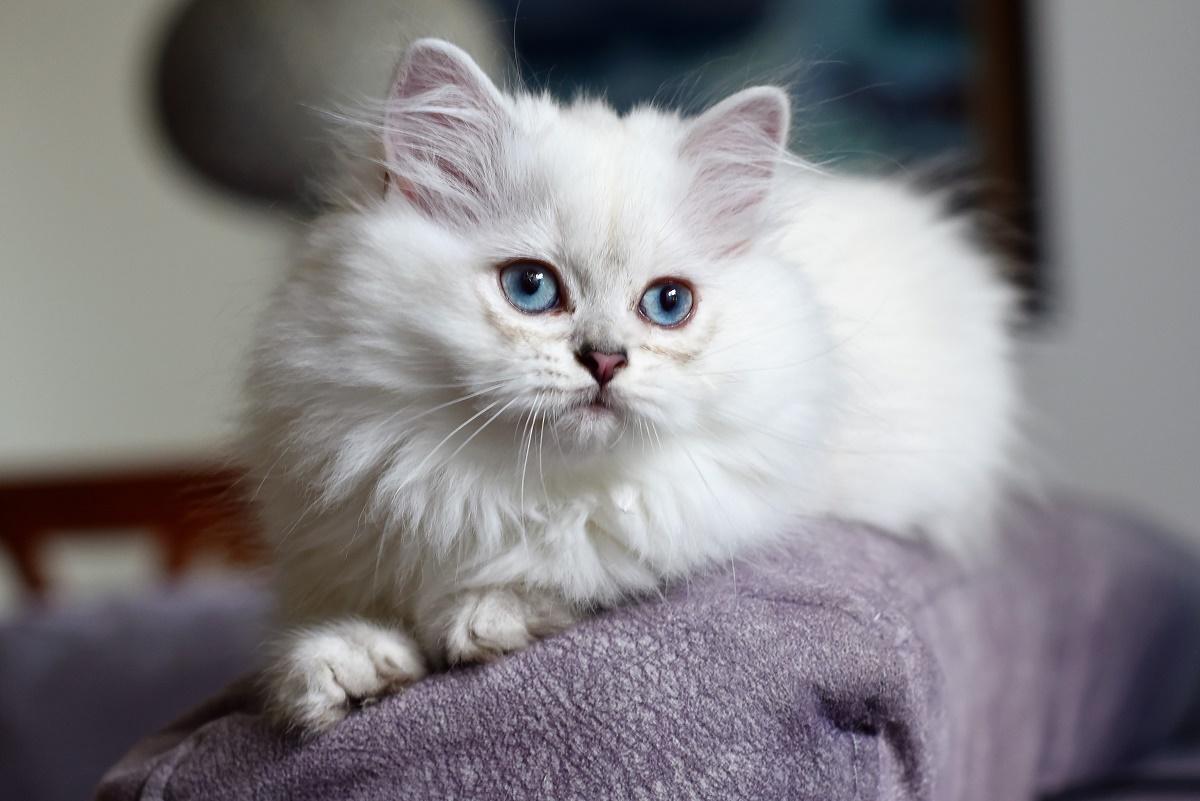 Ảnh mèo anh lông dài