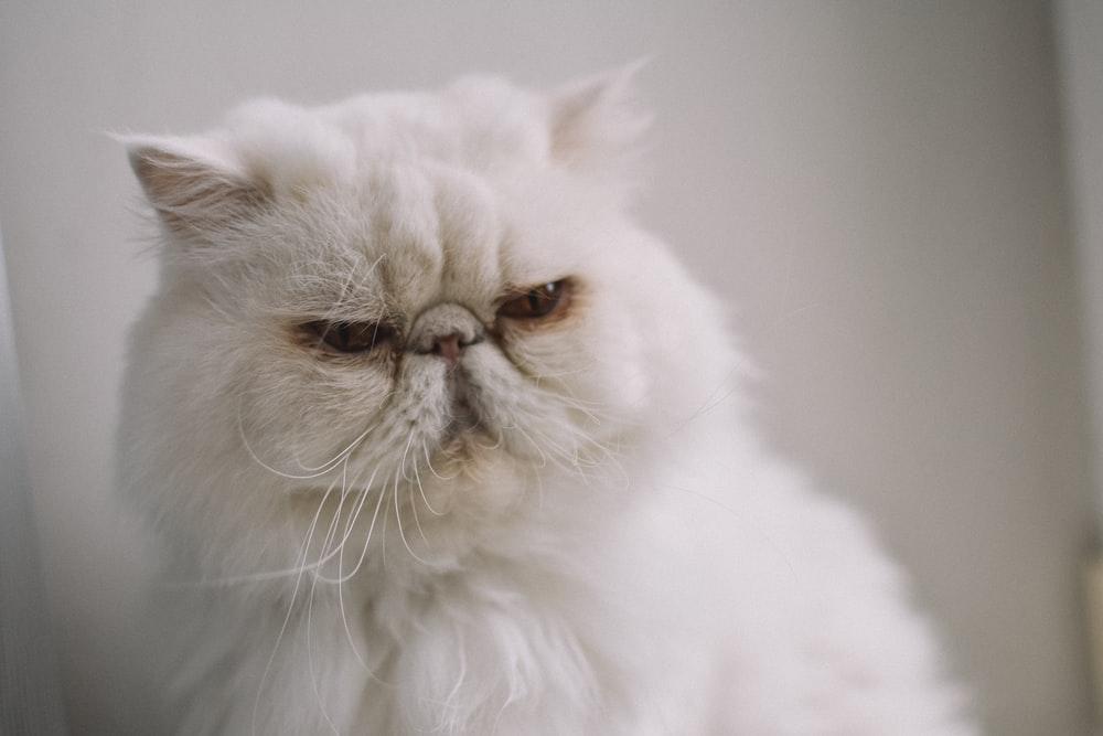Ảnh mèo Ba Tư cau có, đáng yêu