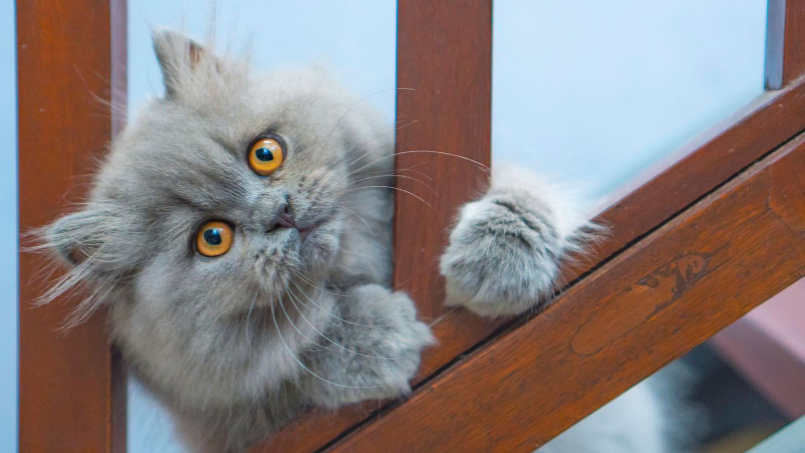 Ảnh mèo Ba Tư con