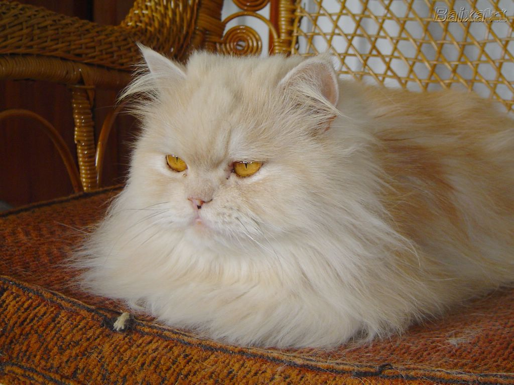 Ảnh mèo Ba Tư cực ngầu