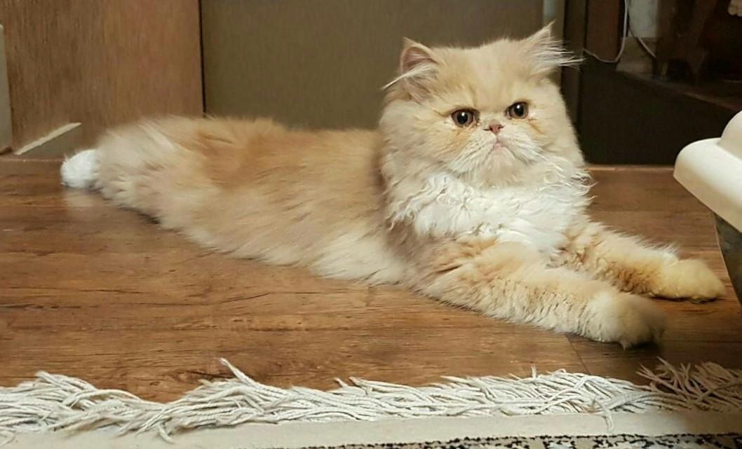 Ảnh mèo Ba Tư đáng yêu