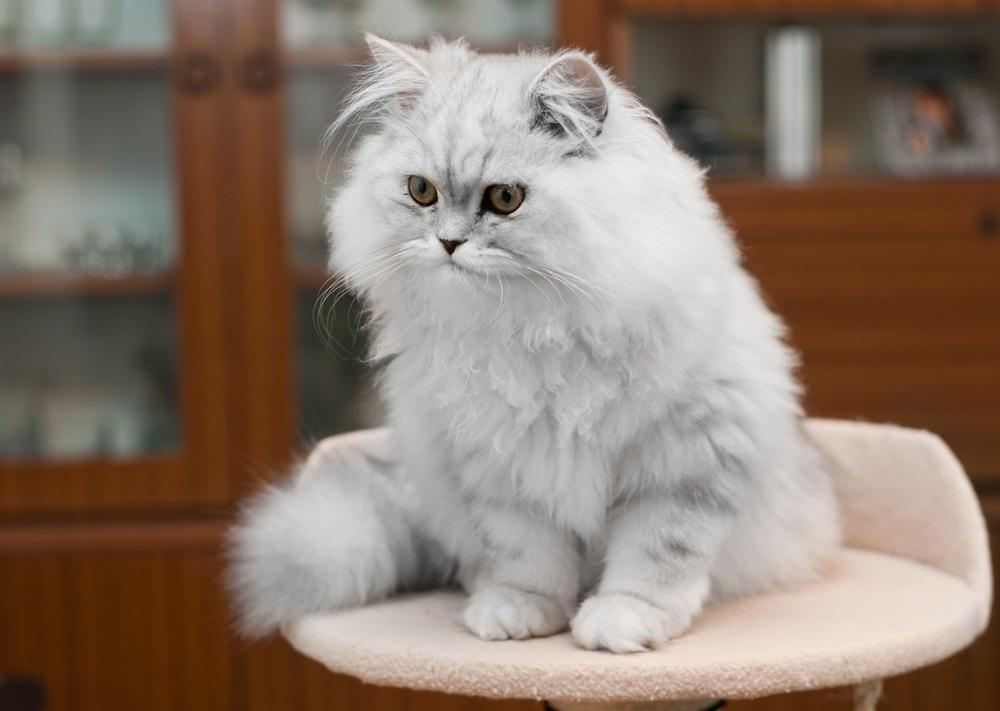 Ảnh mèo Ba Tư đẹp dễ thương