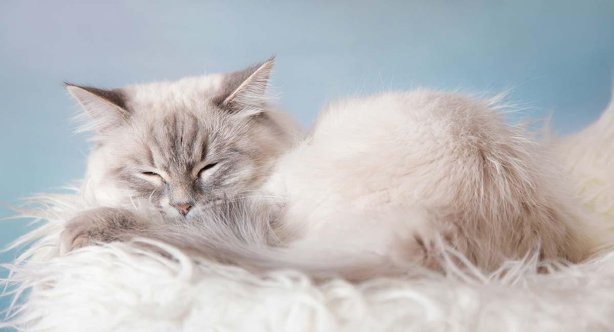 Ảnh mèo Ba Tư đẹp nhất