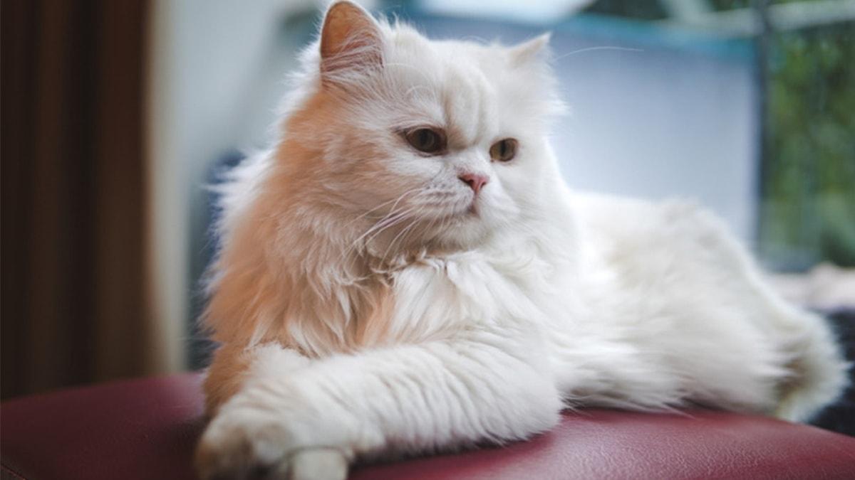 Ảnh mèo Ba Tư đẹp, thần thái