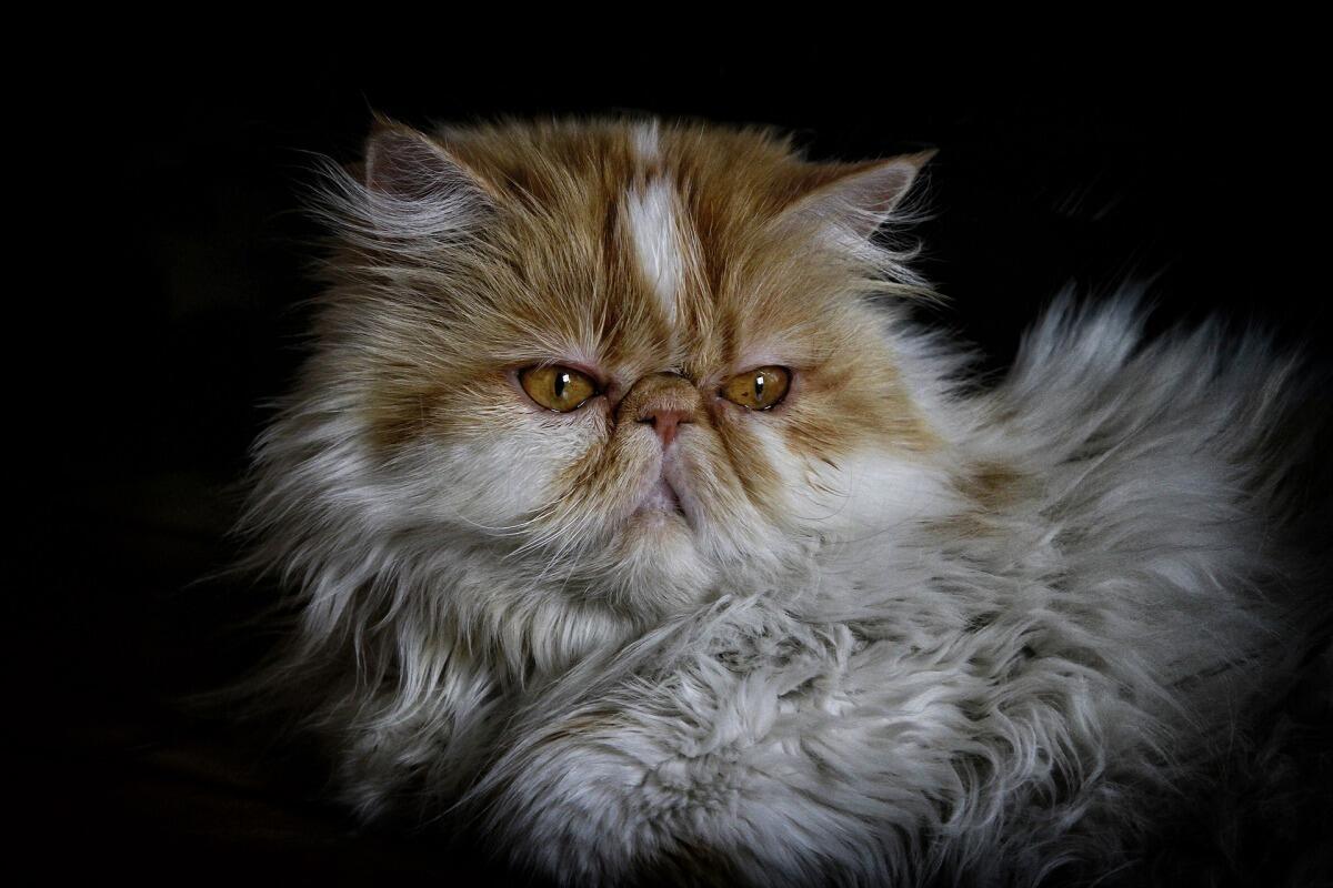 Ảnh mèo Ba Tư đẹp