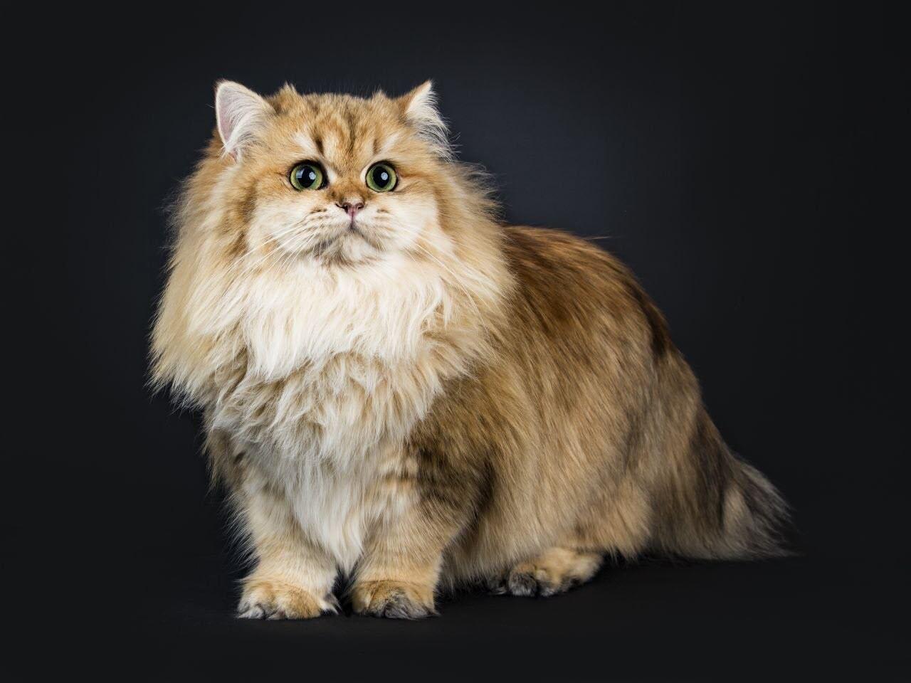 Ảnh mèo Ba Tư lông dài đẹp