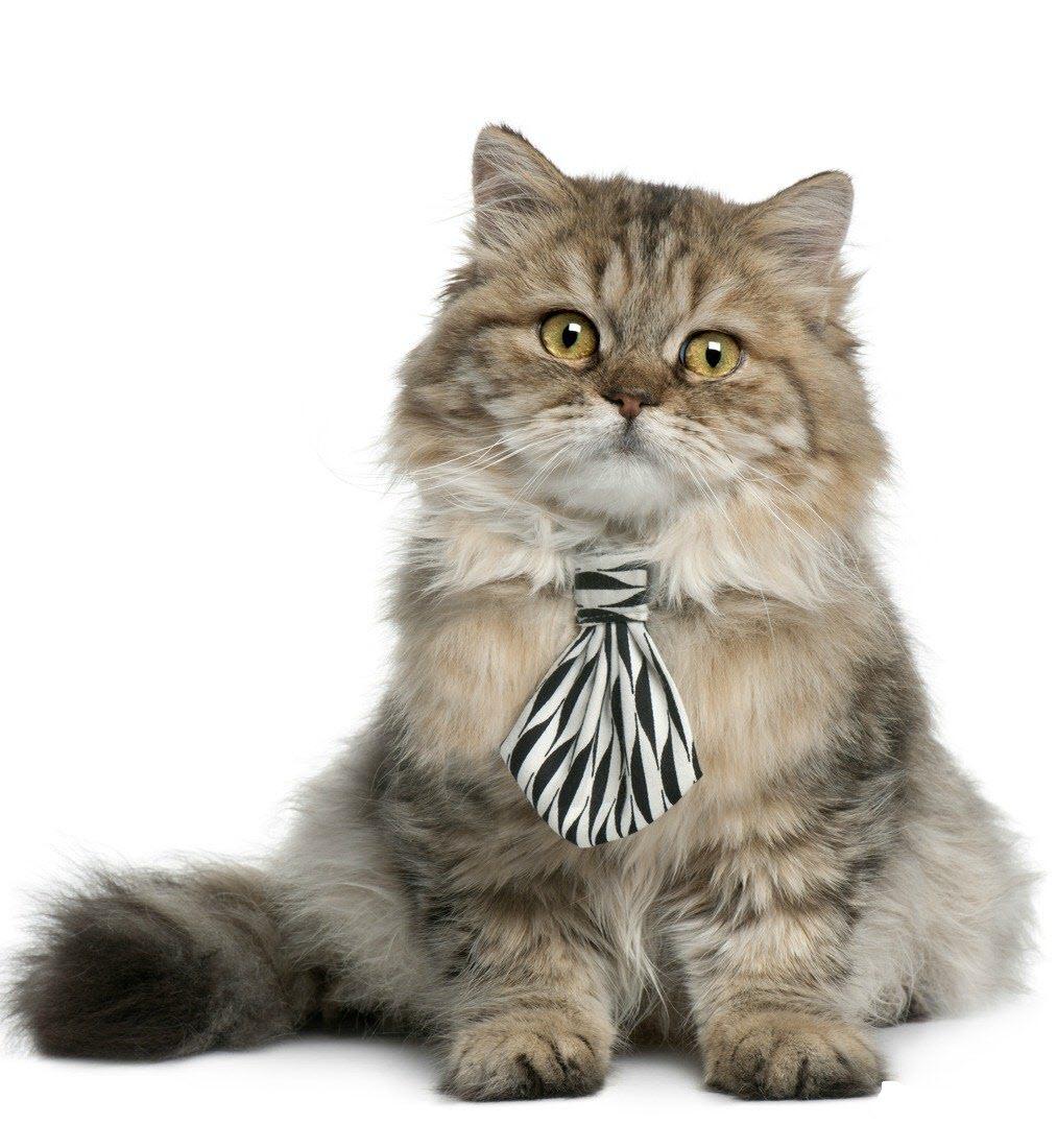 Ảnh mèo Ba Tư lông dài fancy