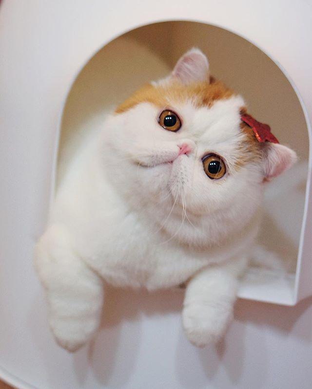 Ảnh mèo Ba Tư lông ngắn siêu cute