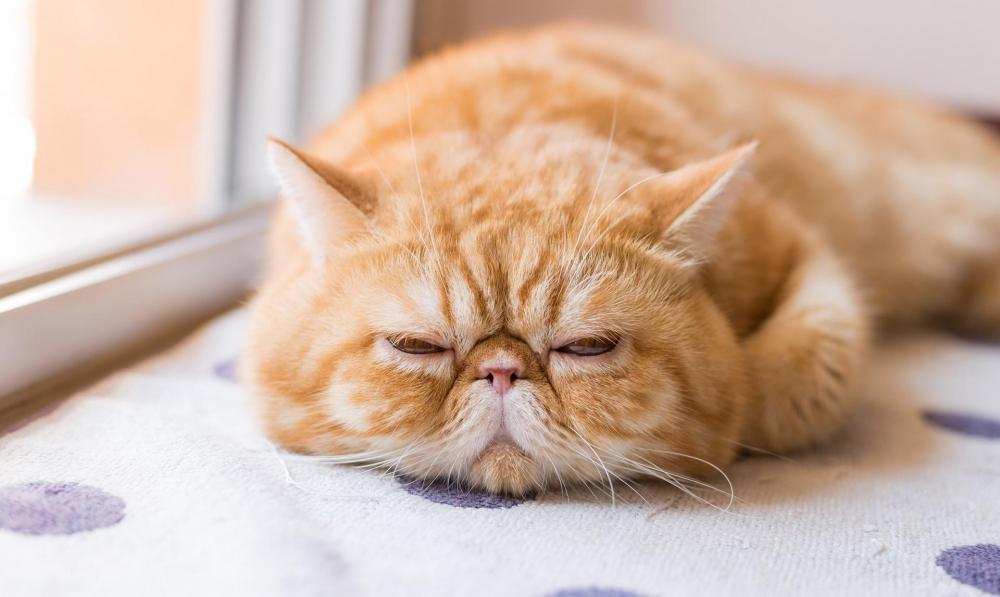 Ảnh mèo ba tư lông ngắn