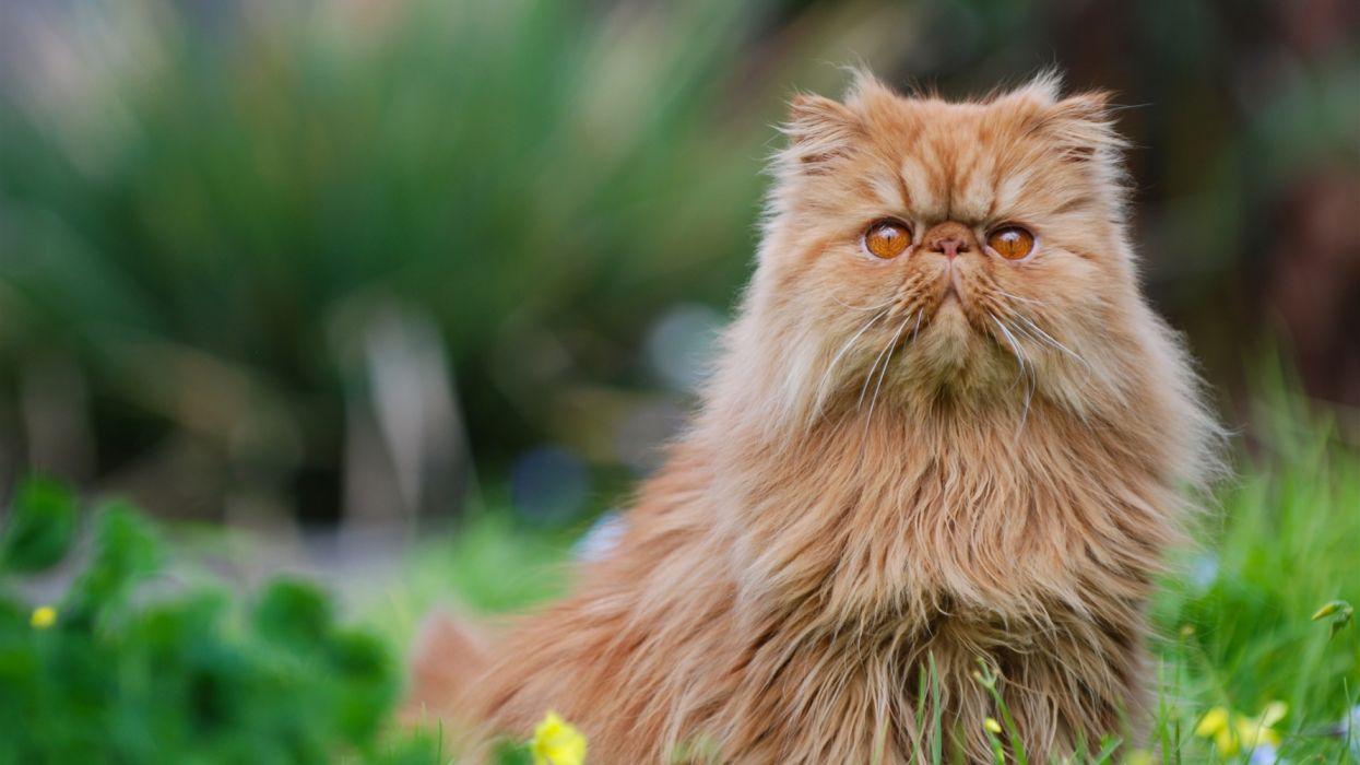 Ảnh mèo Ba Tư lông vàng đẹp