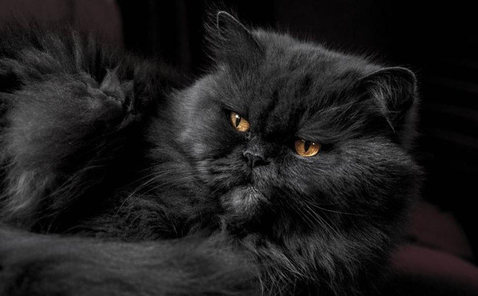 Ảnh mèo Ba Tư lông xám