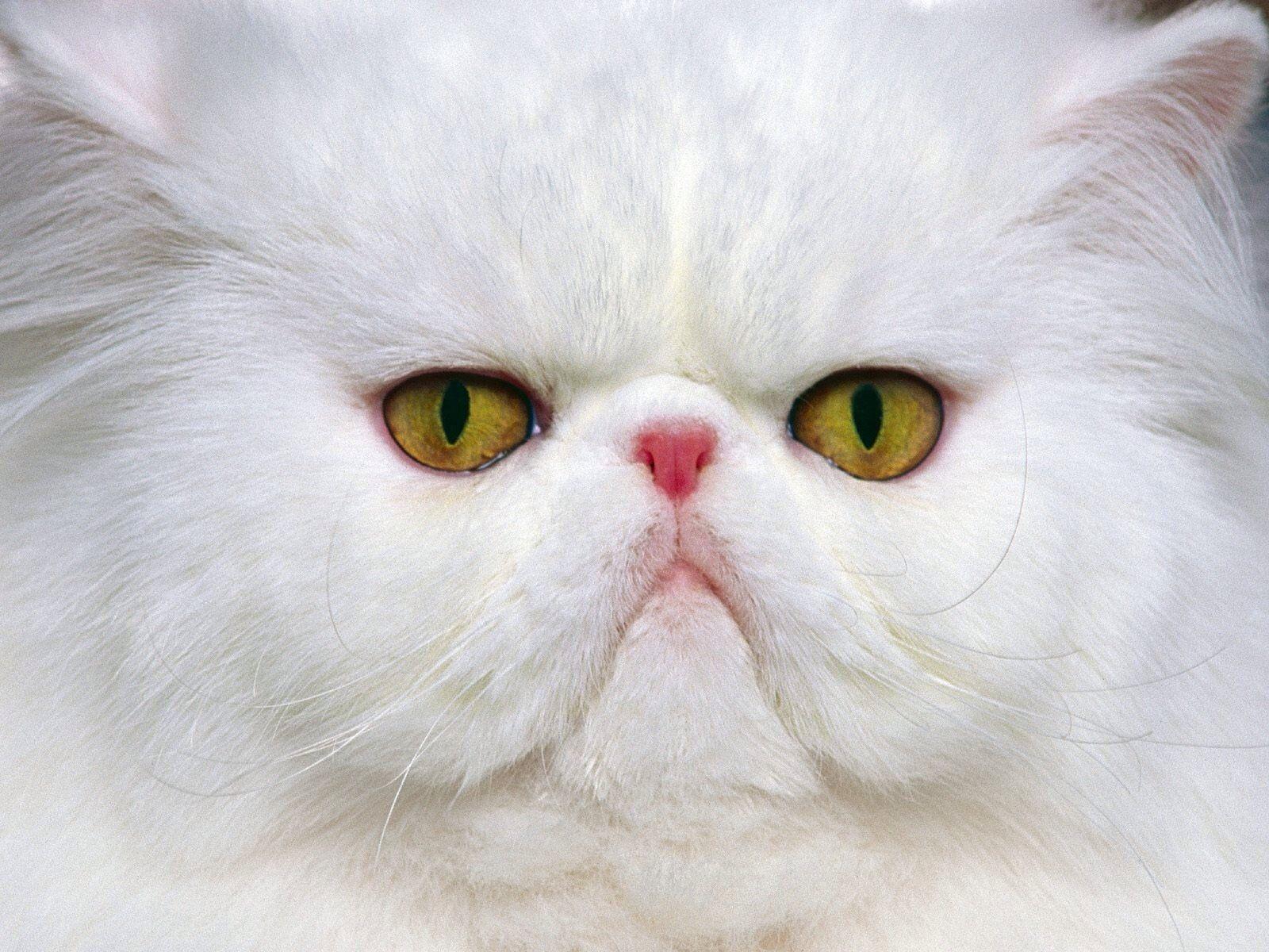 Ảnh mèo ba tư mặt tịt