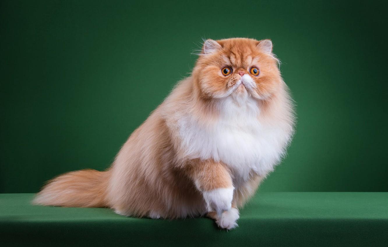 Ảnh mèo Ba Tư ngộ nghĩnh, dễ thương