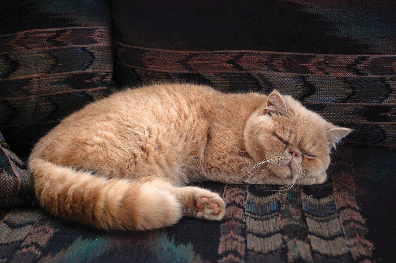 Ảnh mèo Ba Tư ngủ trên ghế sofa