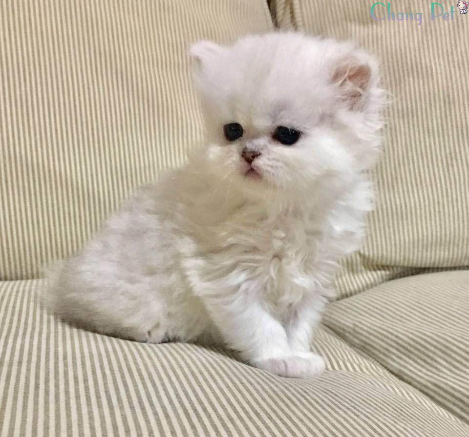 Ảnh mèo Ba Tư sơ sinh